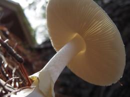 Muchomor sromotnikowy - najbardziej trujący organizm żyjący w Polsce