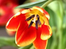 Tulipany wcale nie pochodzą z Holandii!