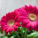 Praca-staa-przy-kwiatach-OD-ZARAZ-Venlo